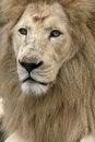 Free White Lion Stock Image - 29326471