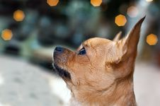 Free Red Chihuahua Dog On Bokeh Background. Stock Photography - 29320002