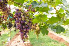 Free Red Grapes On The Vine Stock Photography - 29326382