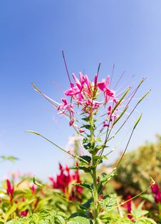 Free Cleome Spinosa Linn Or  Spider Flower Stock Image - 29326881