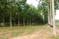 Free Tapping Latex From Rubber Tree Plantation Stock Image - 29327031