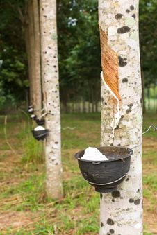 Free Tapping Latex From Rubber Tree Plantation Royalty Free Stock Image - 29327106