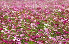 Free White And Pink Cosmos Flowers Royalty Free Stock Photo - 29327355