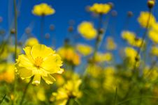 Free Yellow Cosmos Flowers Royalty Free Stock Image - 29327546