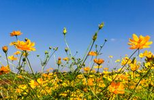 Free Yellow Cosmos Flowers Stock Images - 29327554