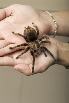 Free Arachnid Monster - Brown Spider Wandering Stock Image - 29329231
