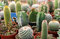 Free Cactus Collection Royalty Free Stock Images - 29327759