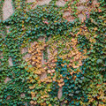 Free Stone Wall With Grapevine Stock Images - 29330974