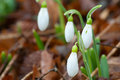 Free Close Up Spring Snowdrop Flowers Royalty Free Stock Photography - 29333927