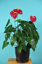 Free Room Plant Of Anthurium With Colors Stock Images - 29336084