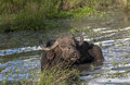 Free African Buffalo In The Sand River  In Africa Royalty Free Stock Photo - 29336735