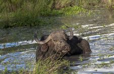 African Buffalo In The Sand River  In Africa Royalty Free Stock Photo