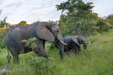 Free African Elephant Family In South Africa Royalty Free Stock Images - 29336919
