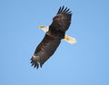 Free Bald Eagle In Flight With A Blue Sky Background Stock Photo - 29349130
