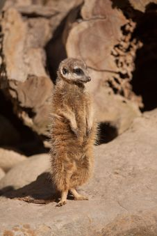 Free Meerkat Royalty Free Stock Photo - 29341995
