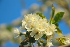 Free Bright White An Apple-tree Flower Stock Image - 29344181