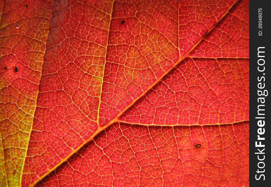 Autumn blackberry leaf