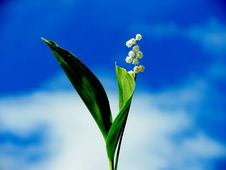 Forest Lily Of The Valley Stock Photo