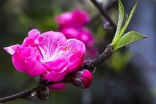 Free Peach Flowers Royalty Free Stock Photo - 29353935