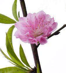 Free Peach Flowers Royalty Free Stock Photos - 29354578