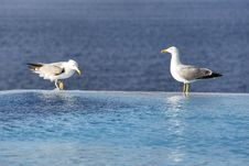 Two Seagulls On The Edge Of The Infinity Pool With Sea View On The Background Stock Photography