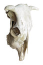 Free Cow Skull Royalty Free Stock Photos - 29363678