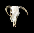Free Cow Skull Stock Photography - 29364862