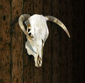 Free Cow Skull Stock Photos - 29364873