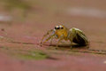 Free Yellow Jumping Spider Royalty Free Stock Photos - 29369658