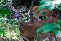Free Deer Licking Nose Stock Image - 29369691