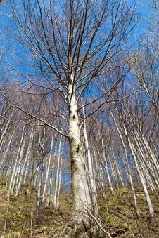 Free Beech Forest. Royalty Free Stock Photography - 29363837