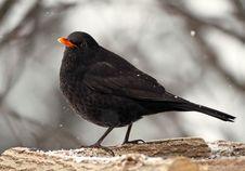 Free Beautiful Blackbird Stock Image - 29367741