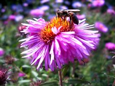 Free The Bee Sitting On The Aster Stock Photo - 29369320
