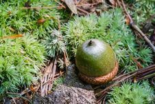 Free Green Acorn Royalty Free Stock Photos - 29369718