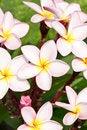 Free Pink Plumeria Stock Photos - 29374273