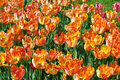 Free Many Tulips In Park Stock Image - 29376671