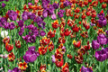 Free Many Red And Purple Tulips Stock Photos - 29376923