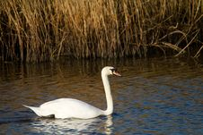 Free Swan On The River In Somerset Royalty Free Stock Image - 29376266