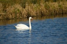 Swan On The River In Somerset Royalty Free Stock Photo