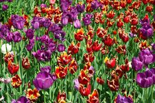 Many Red And Purple Tulips