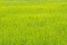 Free Nature Grass Field Rice Stock Photography - 29377142