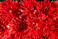 Free Background Of The Red Color Gerberas Stock Photography - 29382572