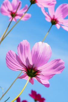 Free Pink Flower Stock Photography - 29382272