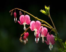 Free Bleeding Heart&x28;Dicentra Spectabilis&x29; Stock Photos - 29386433
