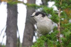 Free The Gray Jay Royalty Free Stock Images - 29388539