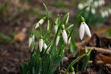 Free Spring Snowdrops Royalty Free Stock Photo - 29390205
