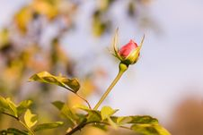 Free Red Rose Royalty Free Stock Photo - 29391595