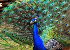 Free Beautiful Peacock Royalty Free Stock Photos - 29392358