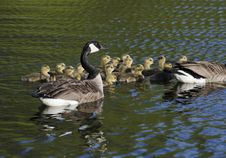 Geese And The Goslings Royalty Free Stock Images