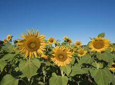 Free Selective Focus On Single Sunflower Stock Photography - 29394102